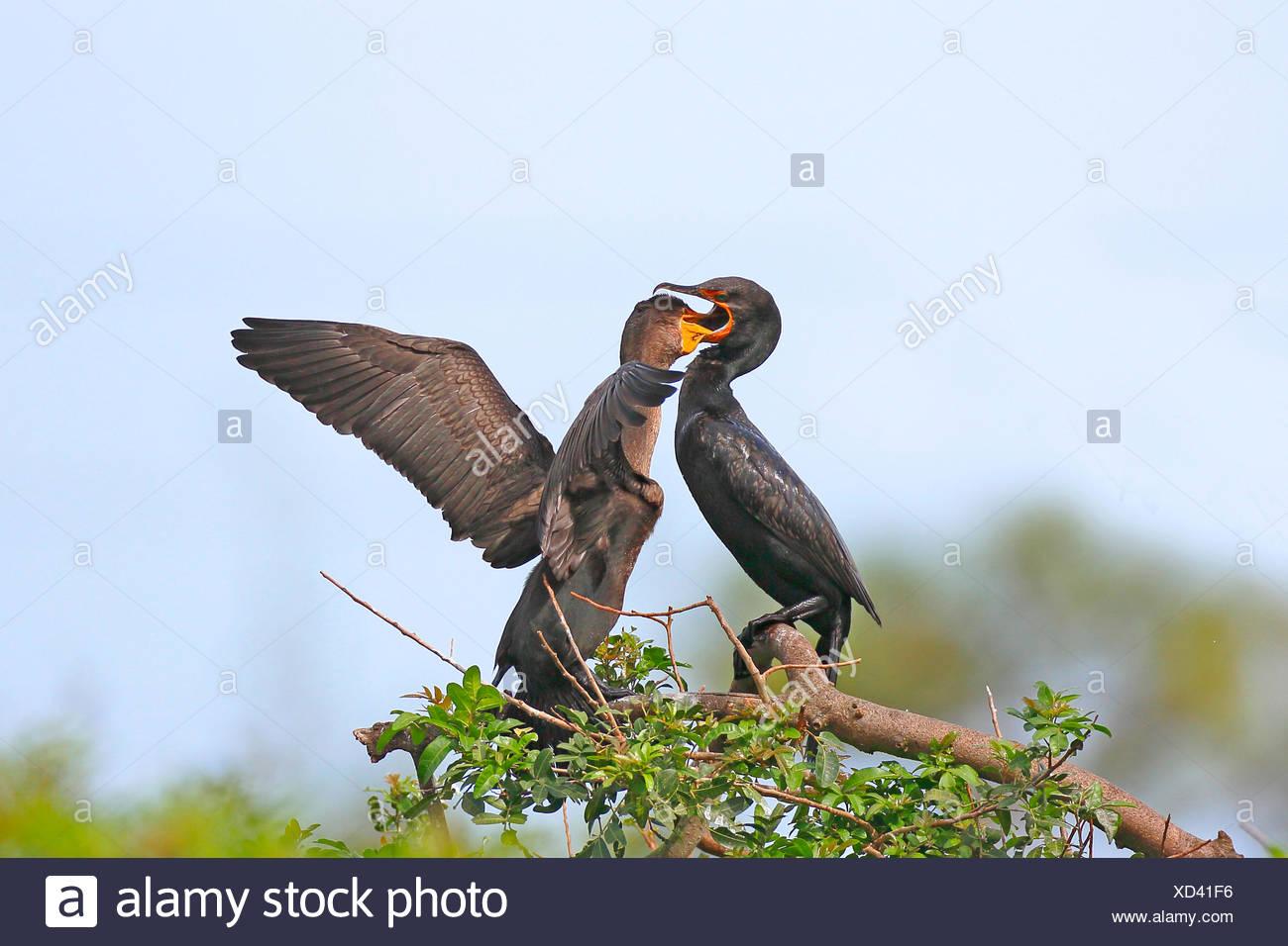 Ohrenscharbe, Ohren-Scharbe (Phalacrocorax auritus), Altvogel fuettert Jungvogel, USA, Florida, Venice | double-crested cormoran - Stock Image