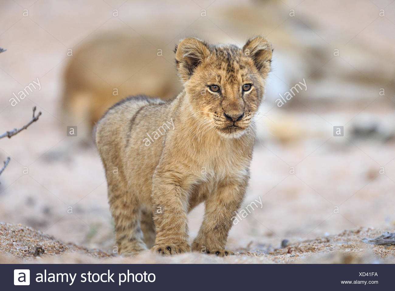 Lion cub, Panthera leo, standing in a sandy dry riverbed. - Stock Image