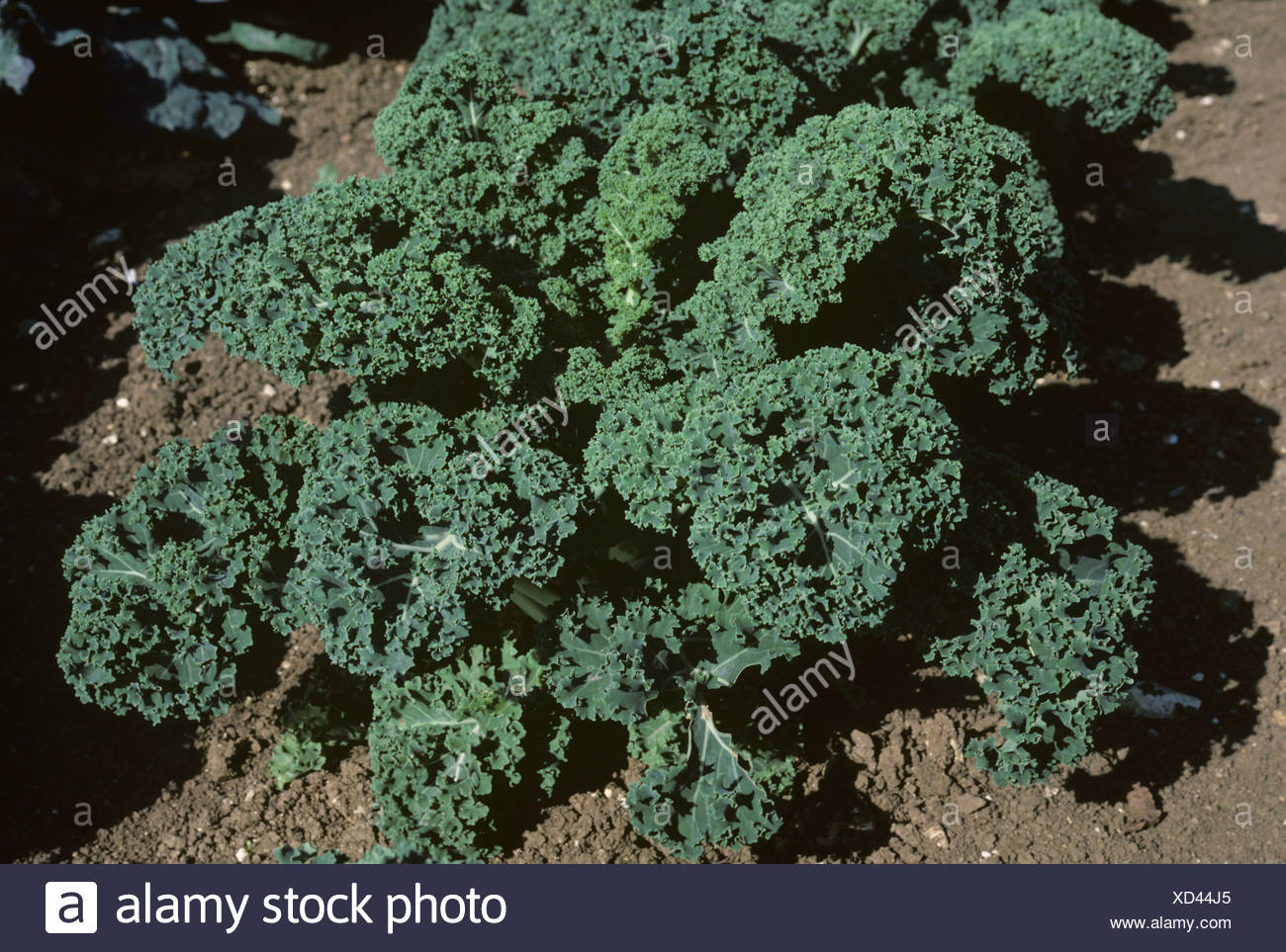Maturing plant of curly kale variety Borecole Spurt Hampshire - Stock Image