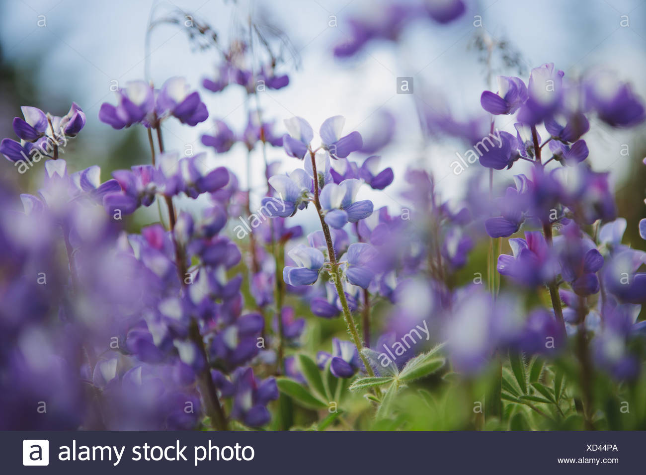 Washington State USA Blooming Lupin wildflowers close up - Stock Image
