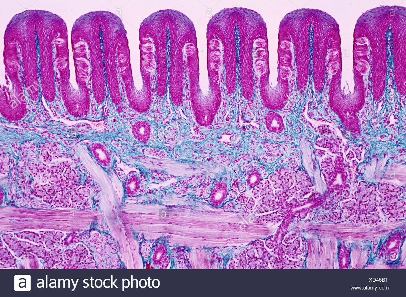 Coronal cross-section of tongue. Papilae visible. 400 X. Photomicrography. - Stock Image
