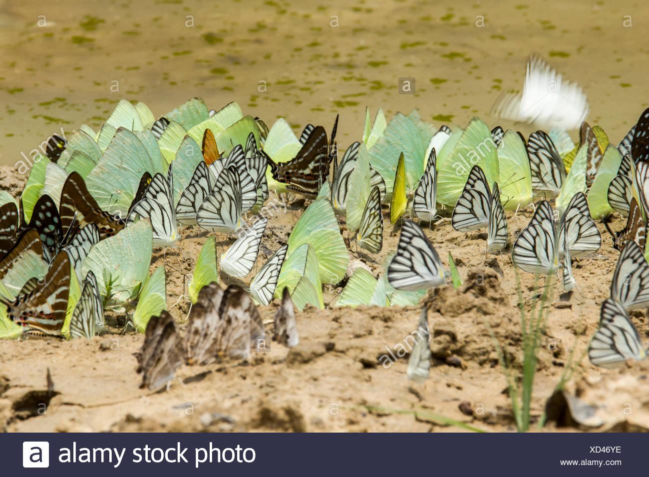 Schmetterlinge, Butterfly, Lepidoptera - Stock Image