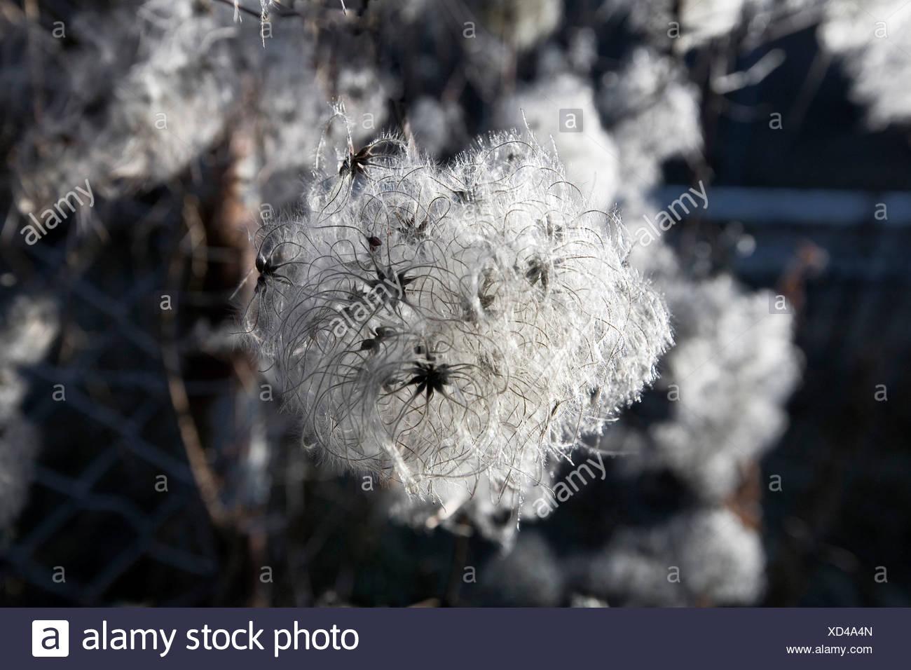 Old Man's Beard or Traveller's Joy (Clematis vitalba) in wintertime - Stock Image