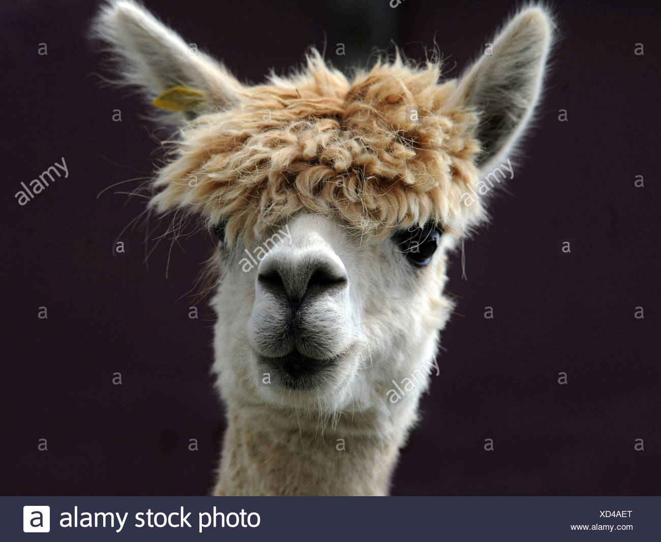 A portrait of an alpaca with a big fringe - Stock Image