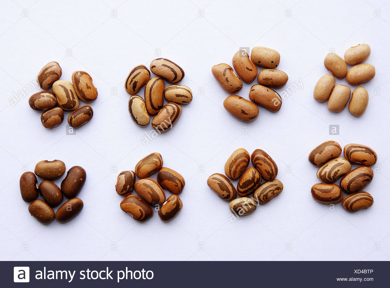 Gene expression in Carioca bean seeds - Stock Image
