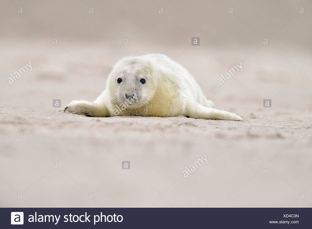 Young gray seal (Halichoerus grypus) on the beach, Düne island, Helgoland, Schleswig-Holstein, Germany Stock Photo