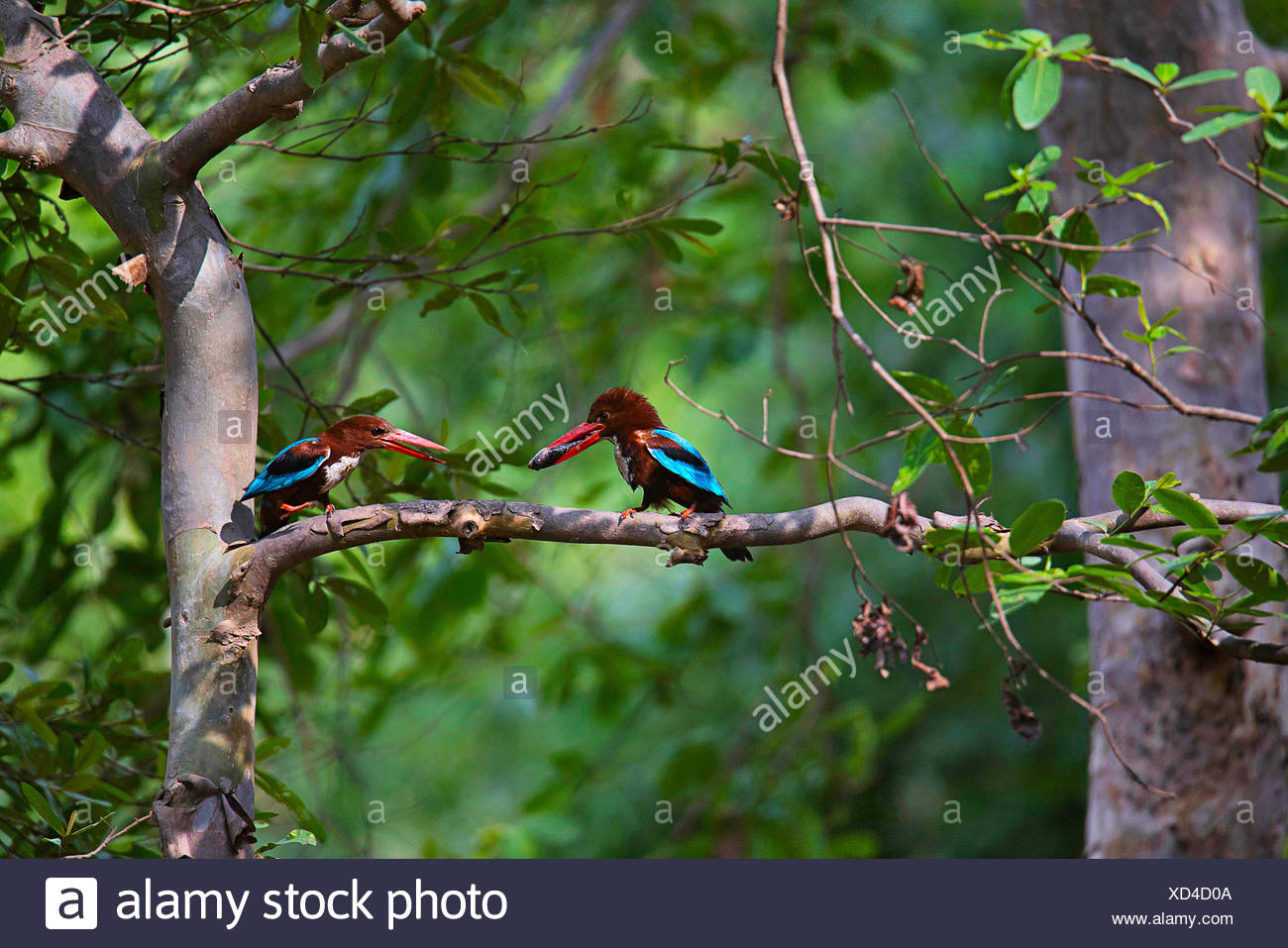 White throated Kingfisher pair, Halcyon smyrnensis, Panna Tiger Reserve, Madhya Pradesh - Stock Image
