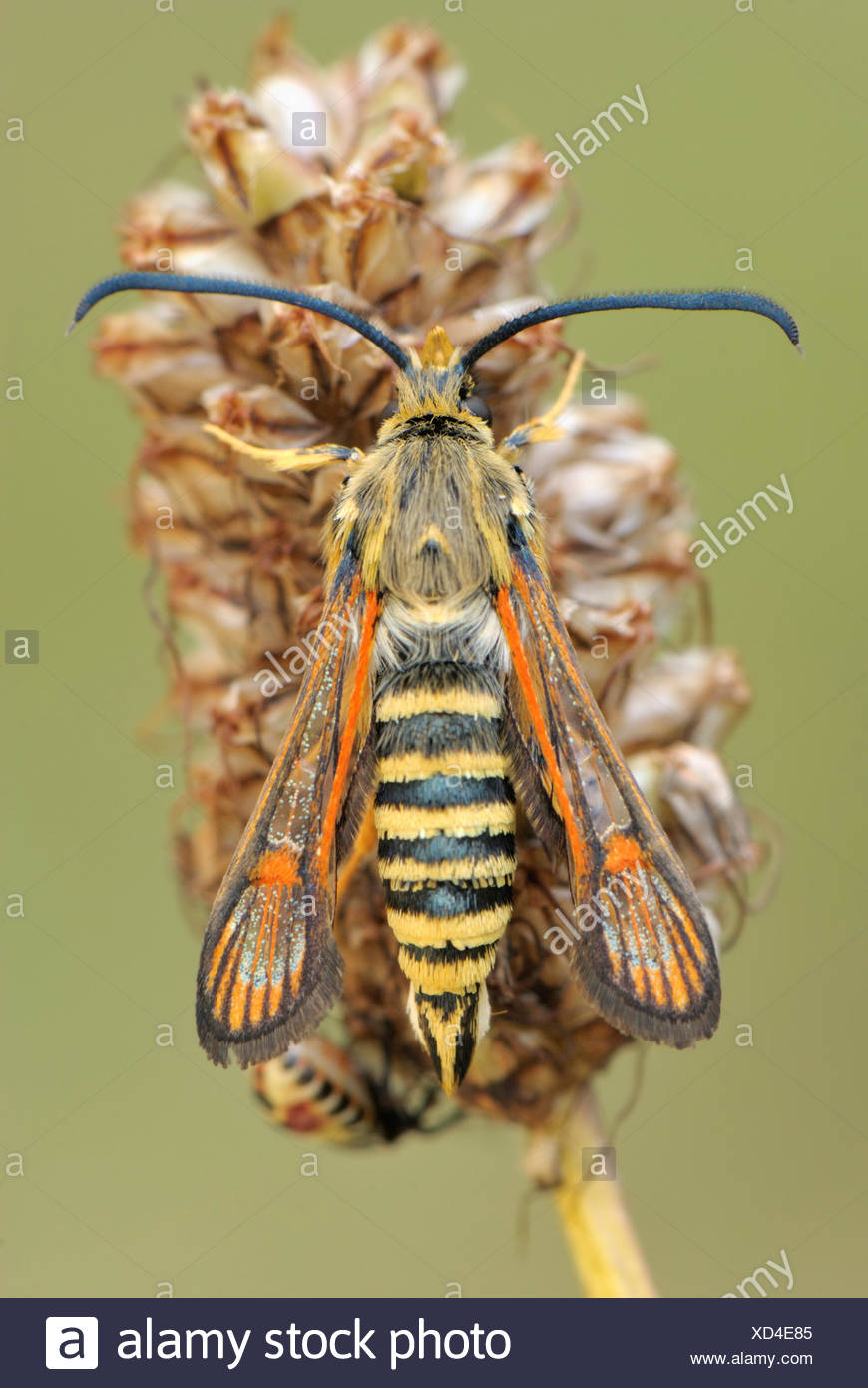 Six-belted Clearwing (Bembecia ichneumoniformis), perched on a seed head, Valle Verzasca, Kanton Tessin, Switzerland - Stock Image