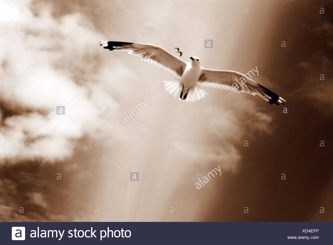 white sea gulls flying over the dunes in the sky in rich sepia tones, - Stock Image