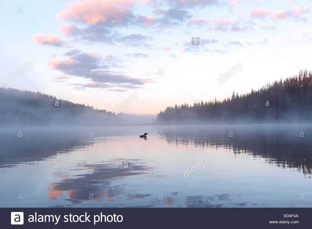 Common loon (Gavia immer), in mist at sunrise,  Lac Le Jeune, British Columbia. - Stock Image
