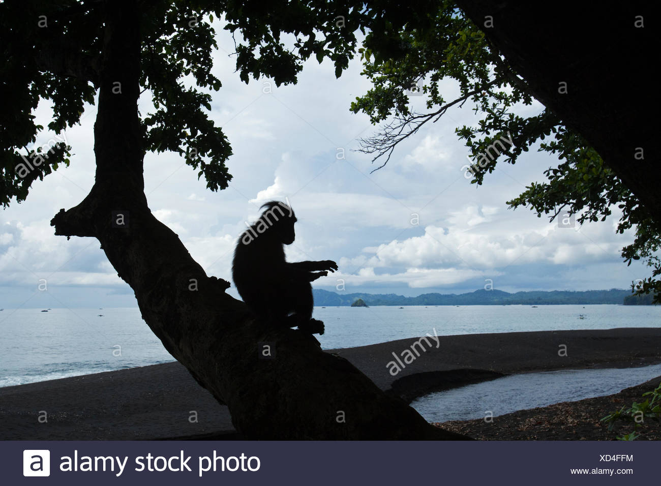 Celebes / Black crested macaque (Macaca nigra) silhouette of juvenile sitting in a tree at coast, Tangkoko National Park, Sulawesi, Indonesia. - Stock Image