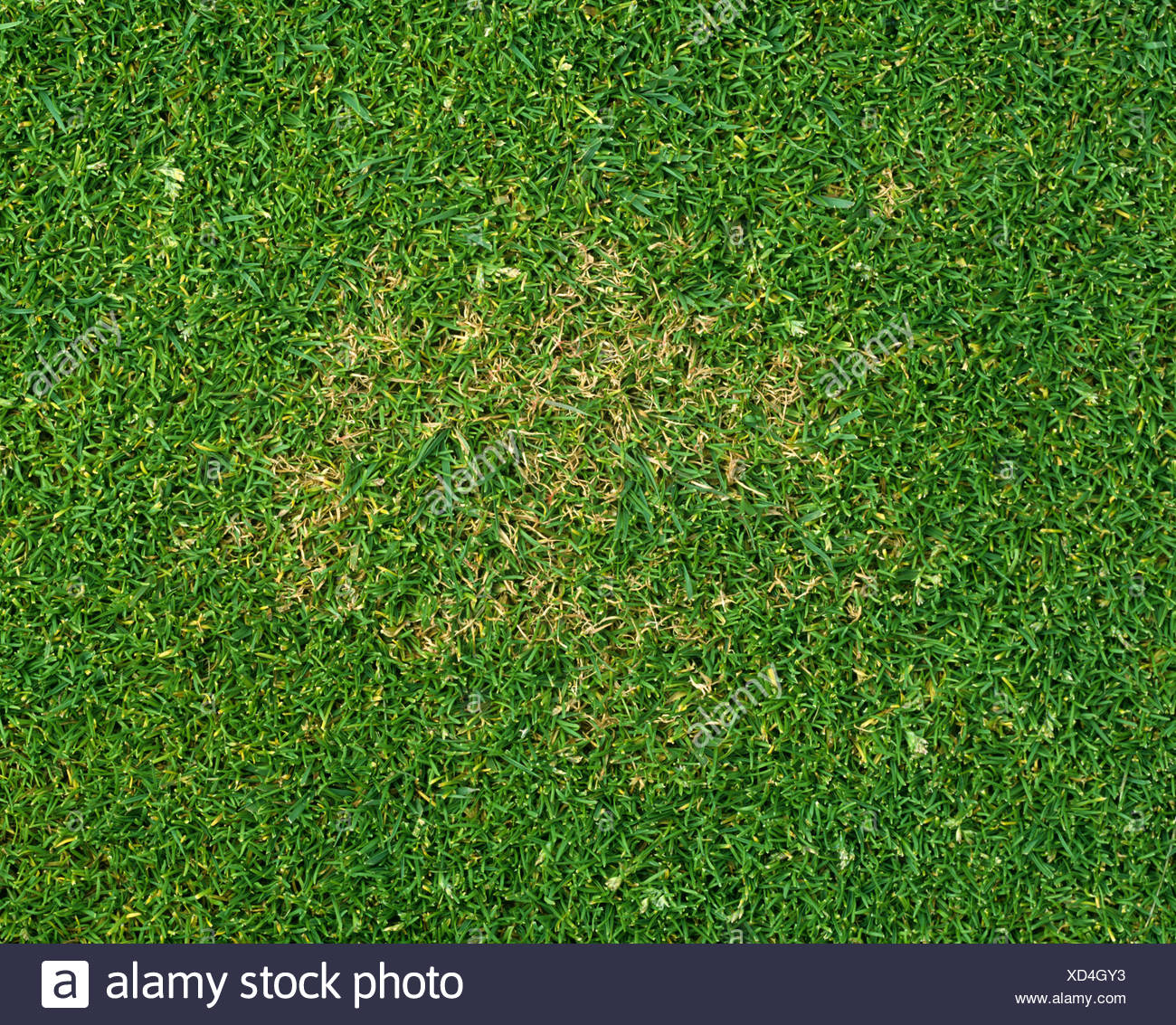 A patch of Poa sp Turf grass with red thread Laetisaria fuciformis infection - Stock Image