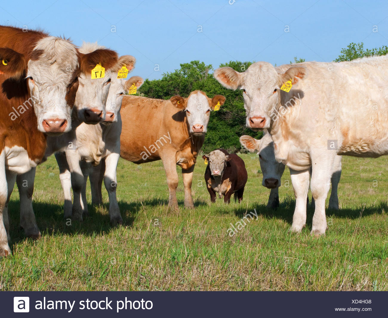 Livestock - Curious mixed breed beef cows on a green pasture / Alberta, Canada. - Stock Image