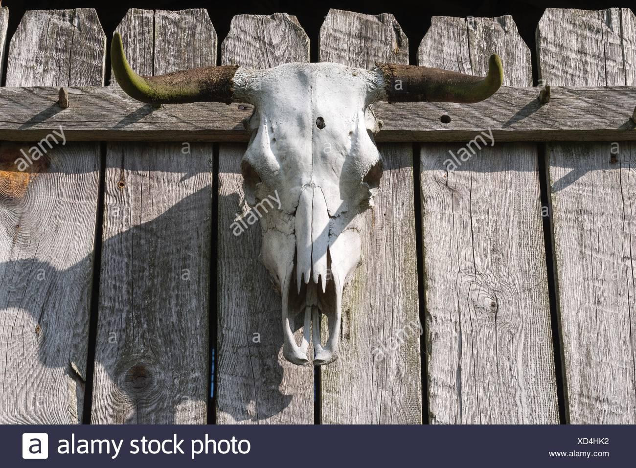 Bull skull with bullet hole, on fence, Mecklenburg-Vorpommern, Germany - Stock Image