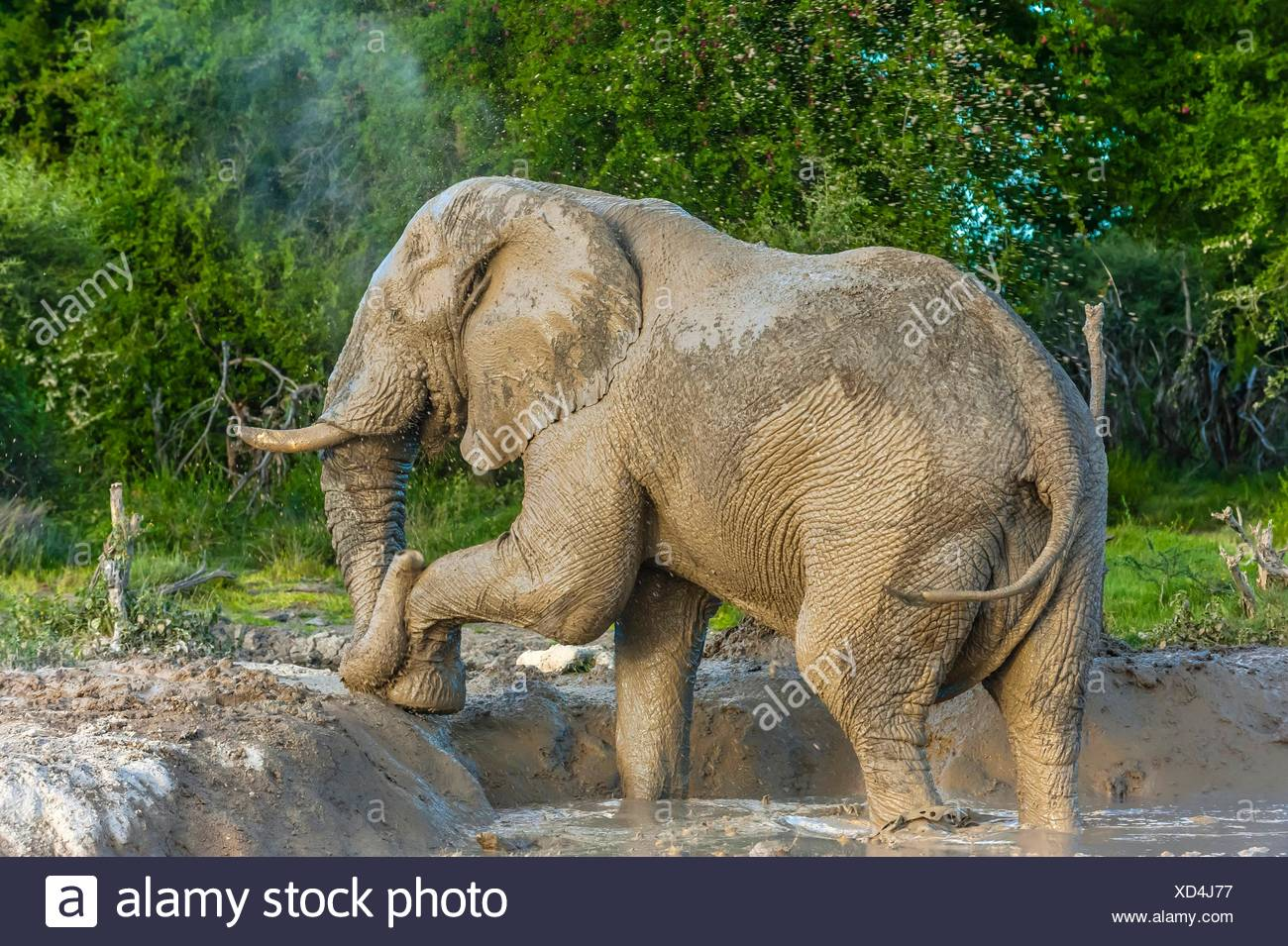 An elephant with one tusk (they often break them digging) after taking a mud bath to cool off, Nxai Pan National Park, Botswana. - Stock Image