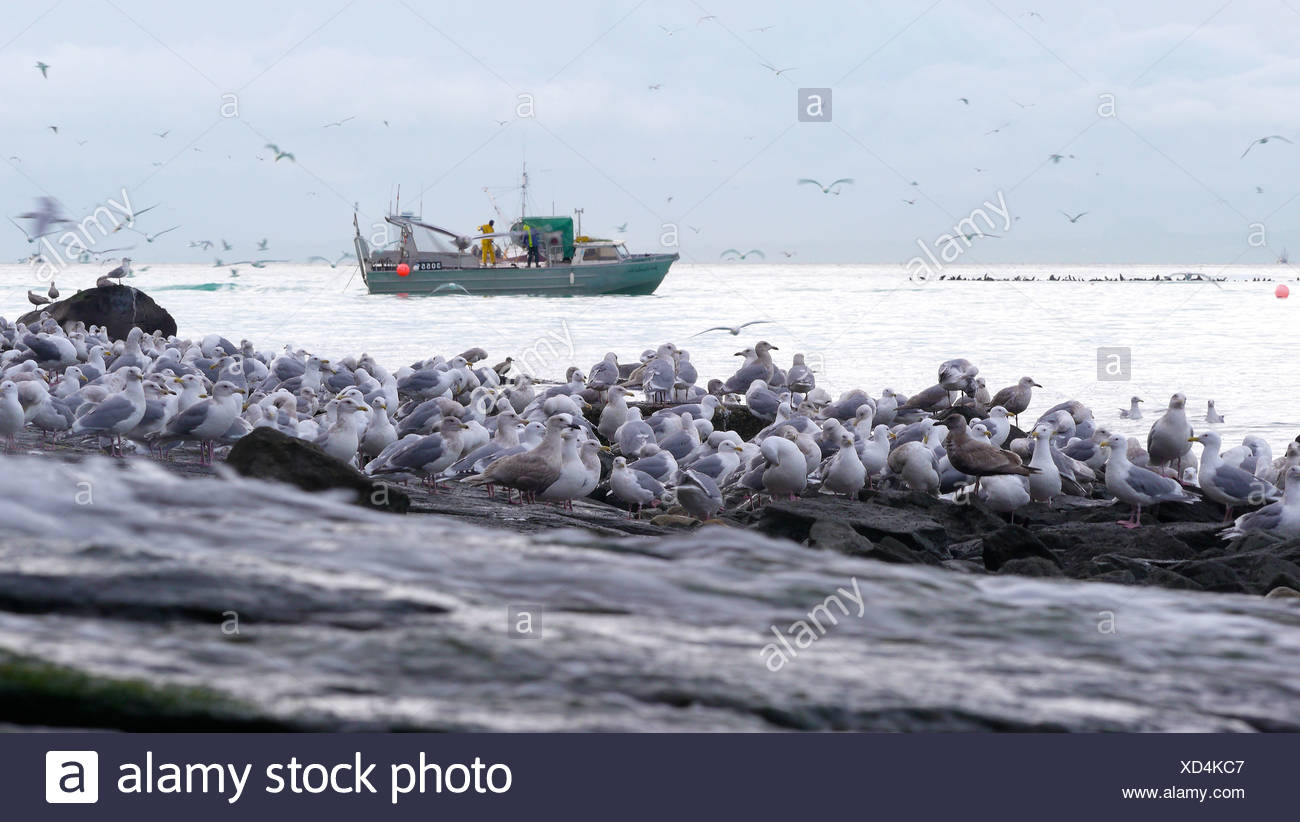 Fisheman herring fishing with seagulls on shore, Hammond Bay, Georgia Strait, Vancouver Island, British Columbia, Canada - Stock Image
