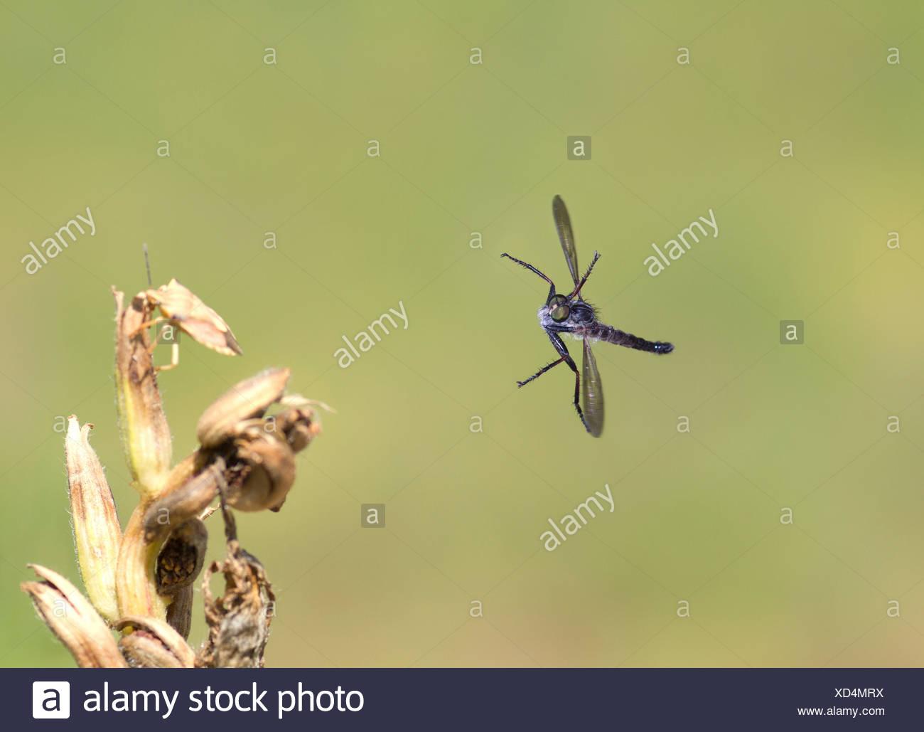 Common Awl Robberfly, Neoitamus cyanurus, in flight - Stock Image