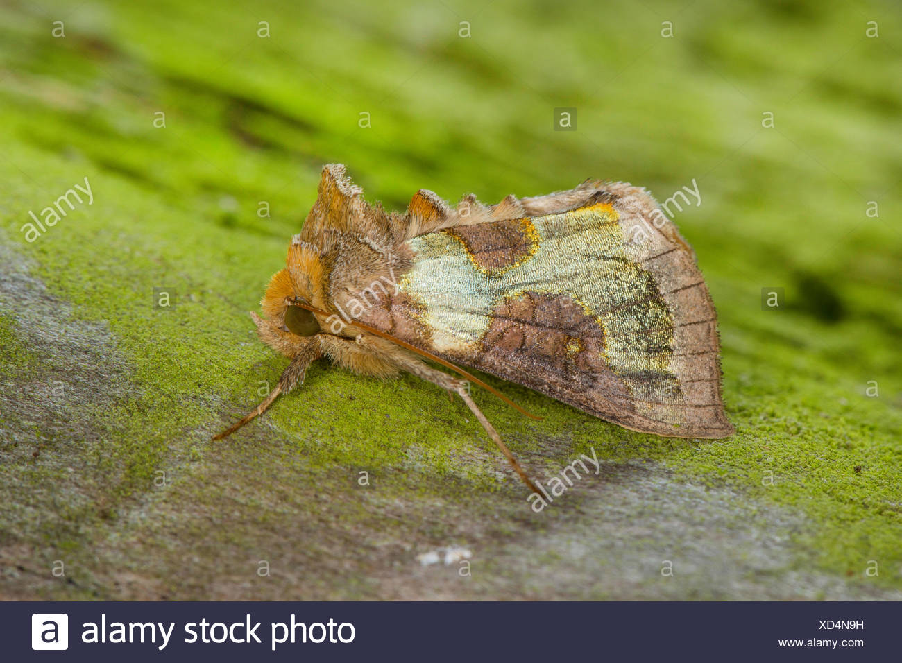 Burnished brass (Diachrysia chrysitis, Plusia chrysitis, Phytometra chrysitis), on green bark, Germany - Stock Image