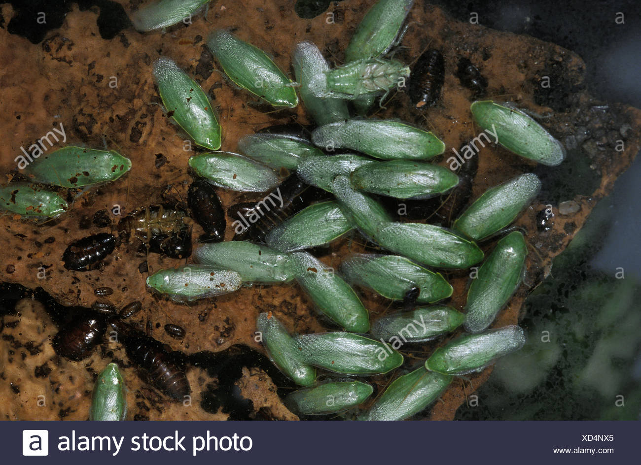 Green Banana Cockroach, panchlora nivea in South America - Stock Image