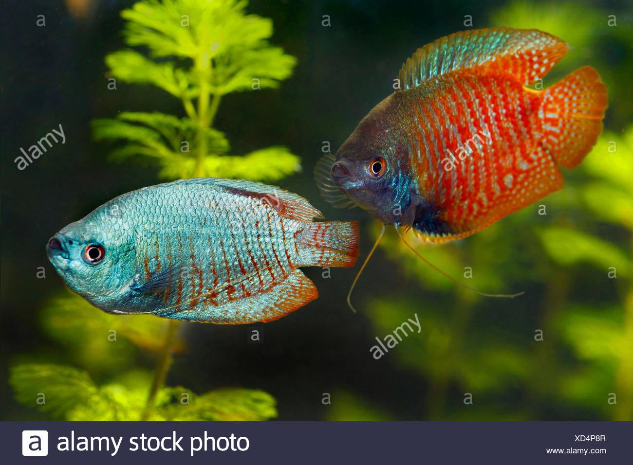 dwarf gourami, couple, Colisa lalia, Trichogaster lalius, South Asia Stock Photo