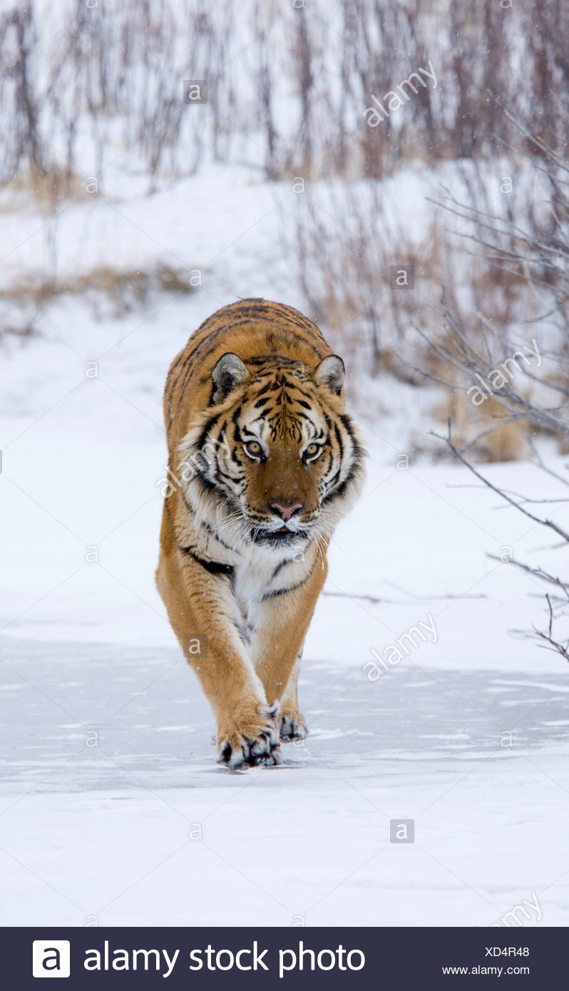 Siberian tiger (Panthera tigris altaica) walking in a snow covered field - Stock Image