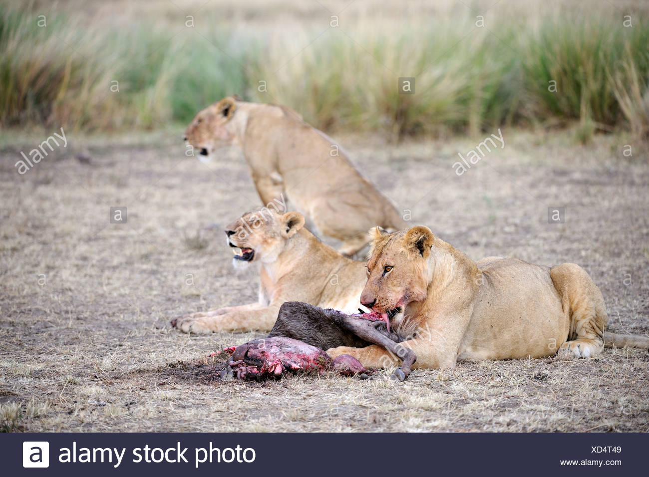 Lions (Panthera leo), lion family eating a captured wildebeest, Masai Mara, Kenya, East Africa, Africa Stock Photo