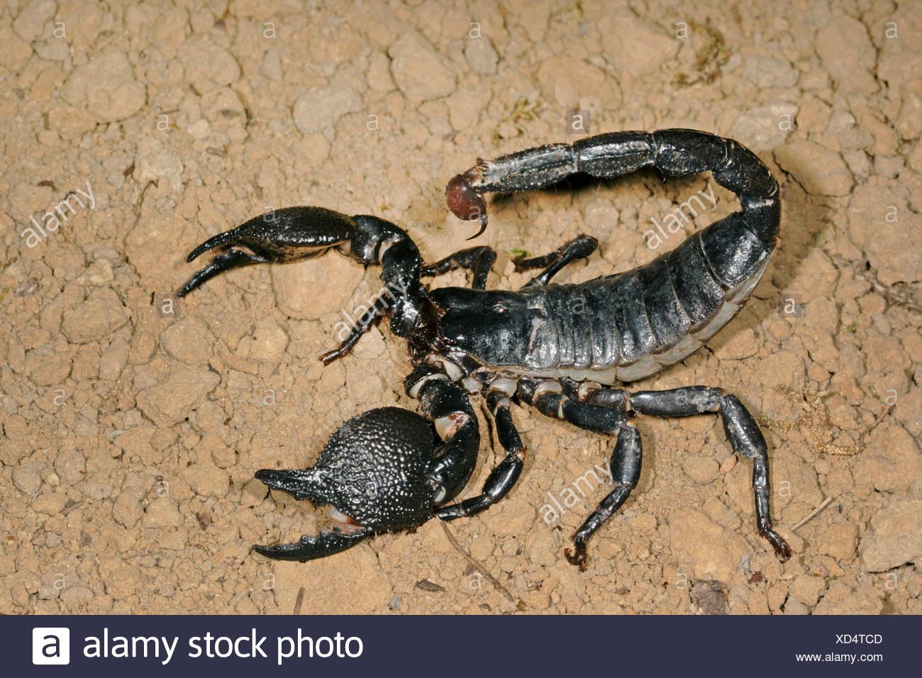 the pandinus imperator a k a emperor Emperor scorpions pandinus imperator have long been one of the easiest, and most popular arachnids to keep in captivity their acclaim existed even before they made their large screen debut in the wildly popular universal pictures movie, the scorpion king.