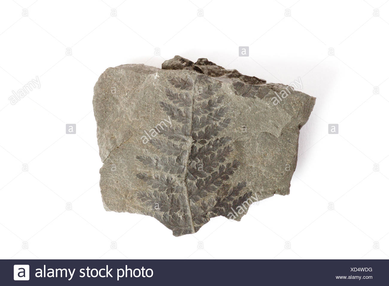 crested wood fern, Pecopteris arborescens, fossil, fossils, rock, primeval times, carbon, stone, geology, fern, - Stock Image