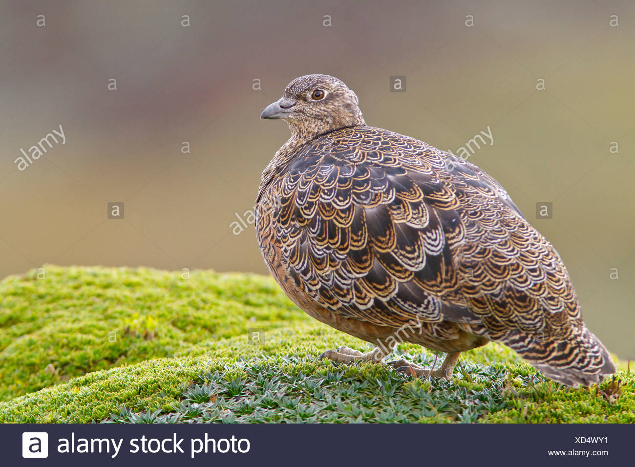 Rufous-bellied Seedsnipe (Attagis gayi) feeding on seeds in the highlands of Ecuador. - Stock Image