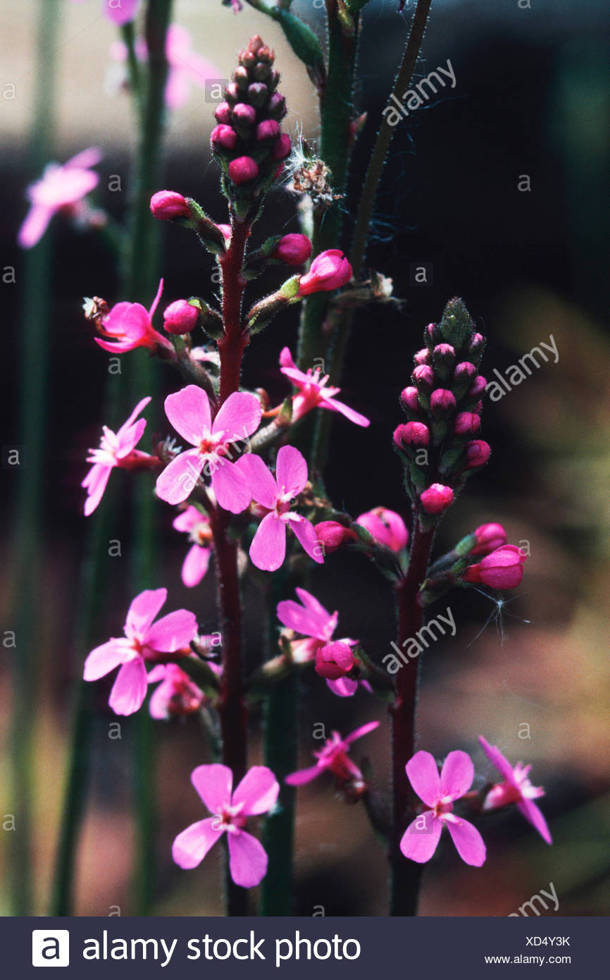 Grass triggerplant, Grass trigger plant (Stylidium graminifolium), blooming - Stock Image