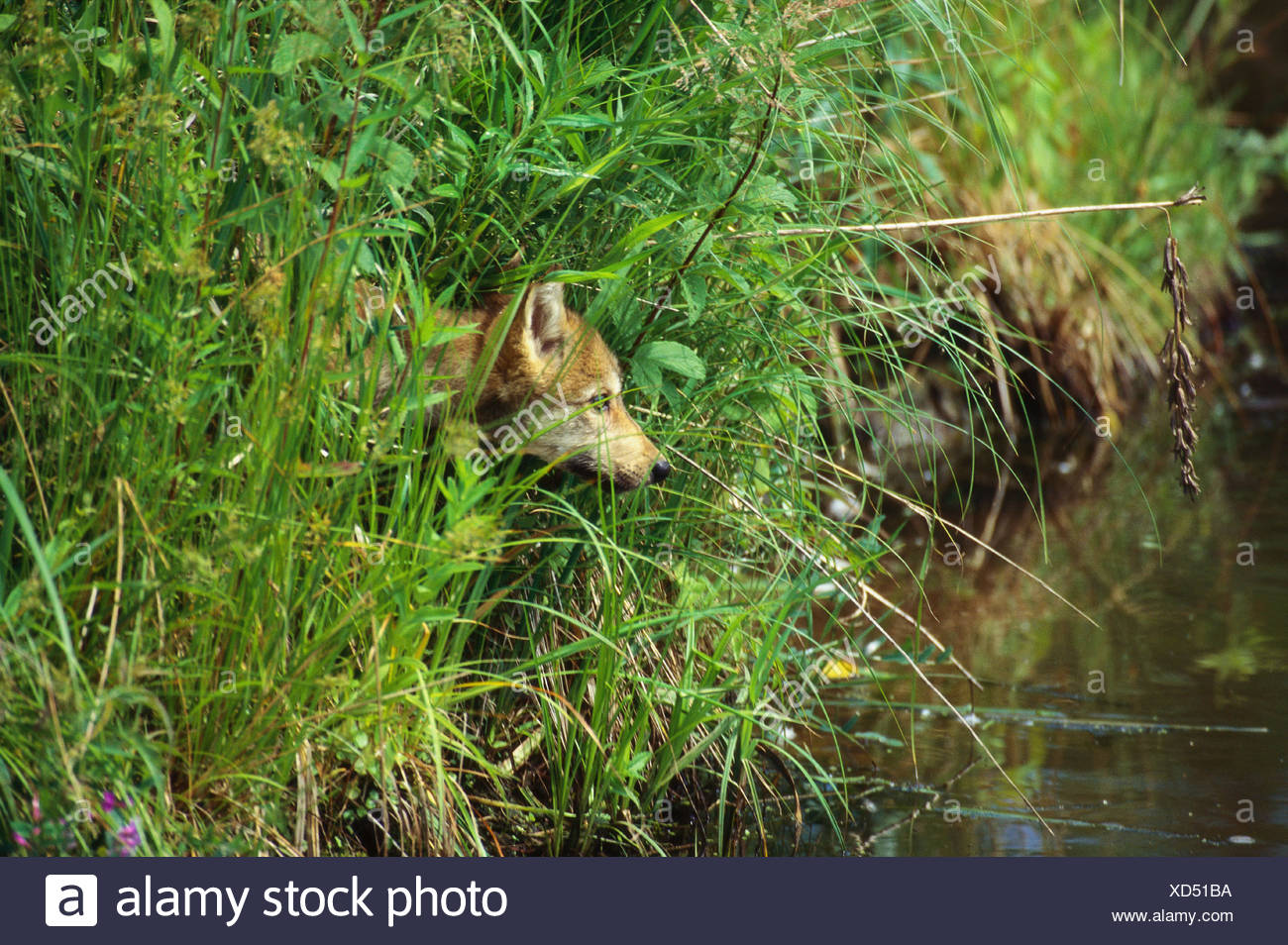 Wolf standing near river - Stock Image