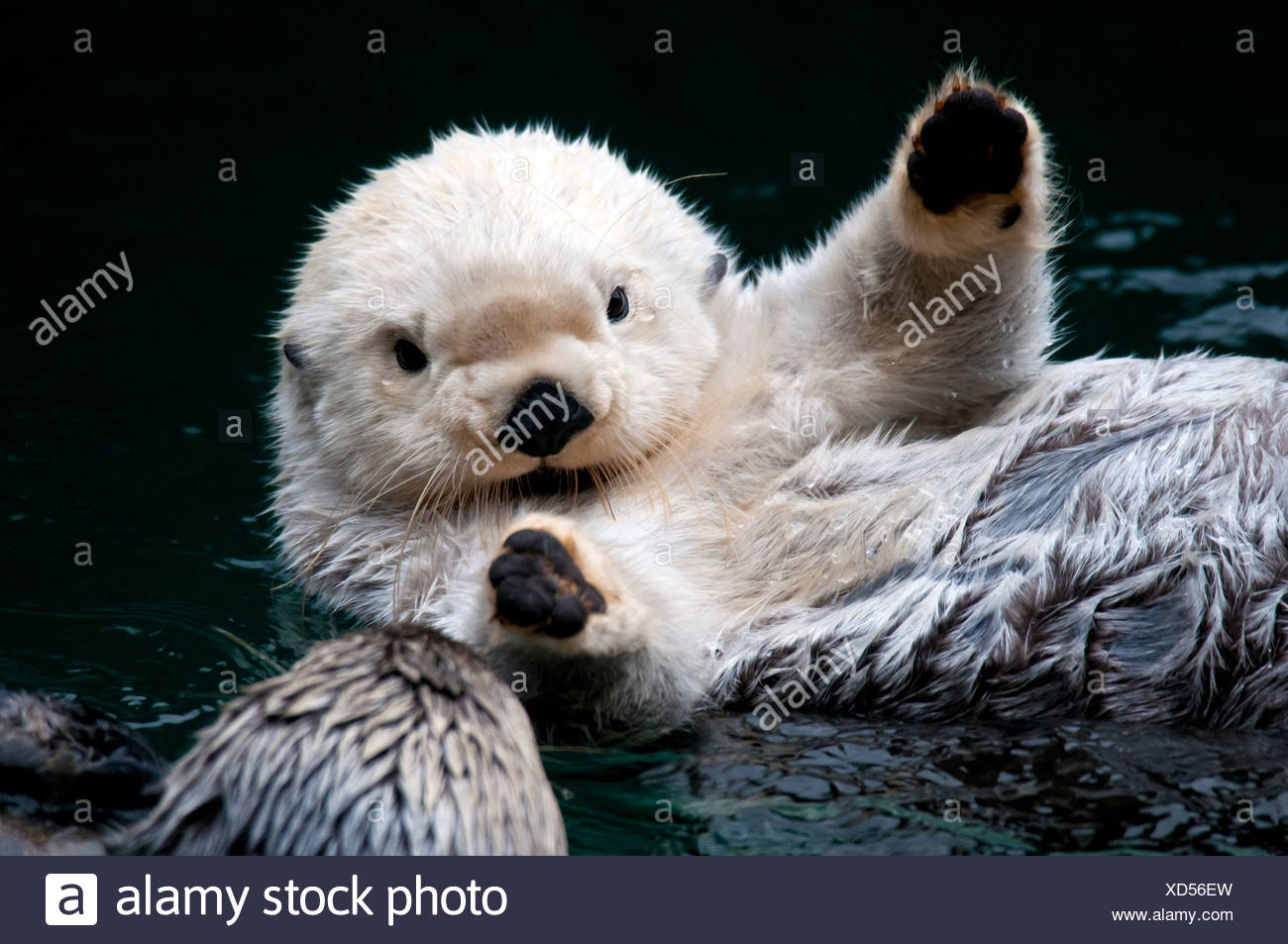 CAPTIVE Close up of two sea otters interacting at the Point Defiance Zoo, Tacoma, Washington USA - Stock Image