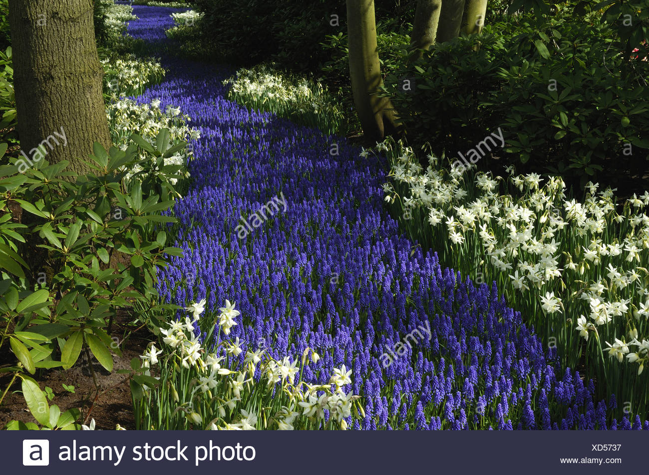 small grape hyacinth, common grape hyacinth (Muscari botryoides), park with flowerbeds with grape hyacinths an daffodils, Nethe Stock Photo