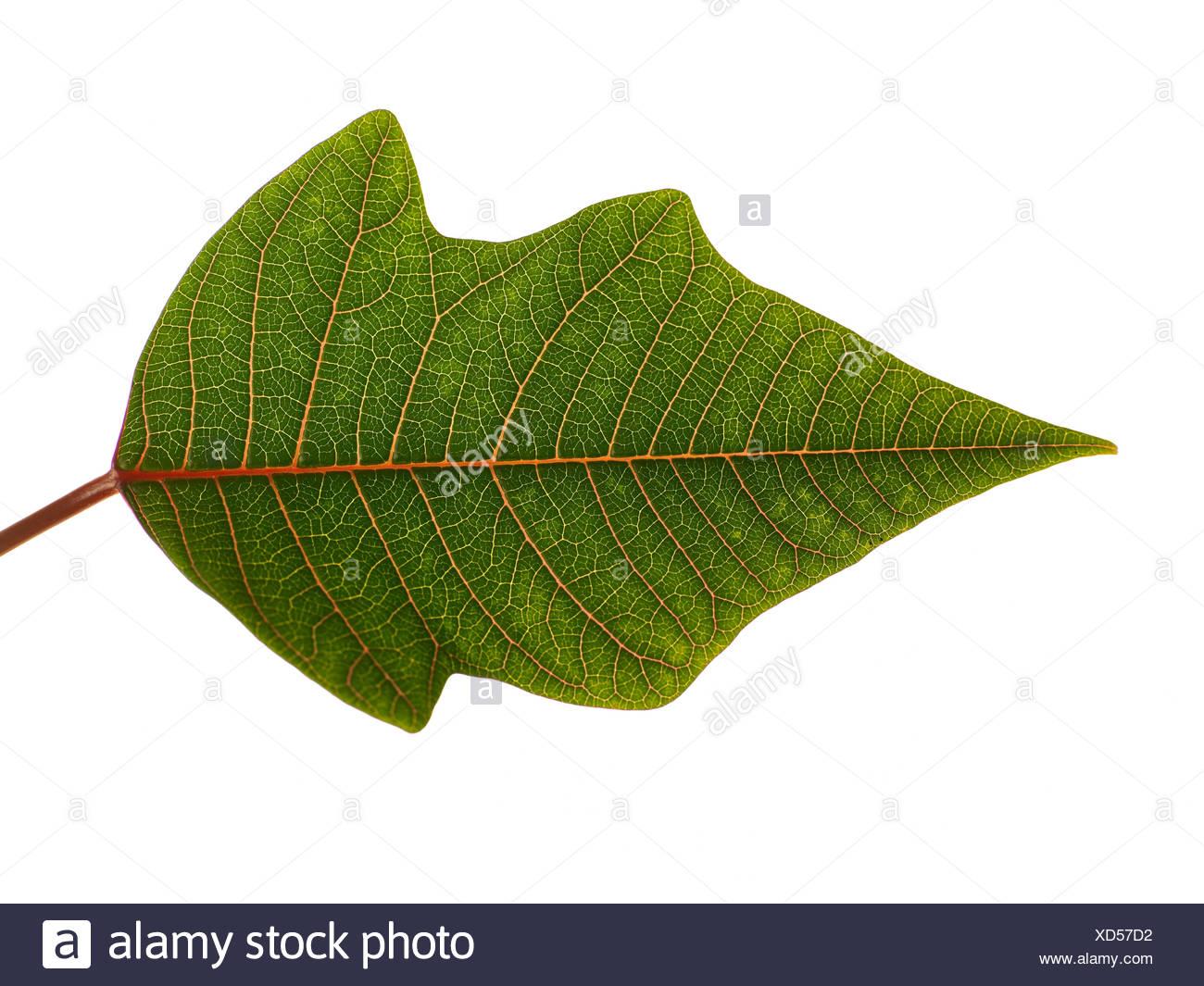 Studio Shot Of A Green Leaf - Stock Image