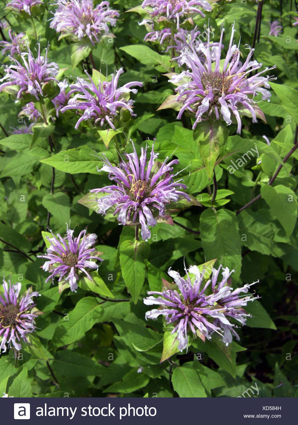 wild bergamot bee-balm (Monarda fistulosa), blooming - Stock Image
