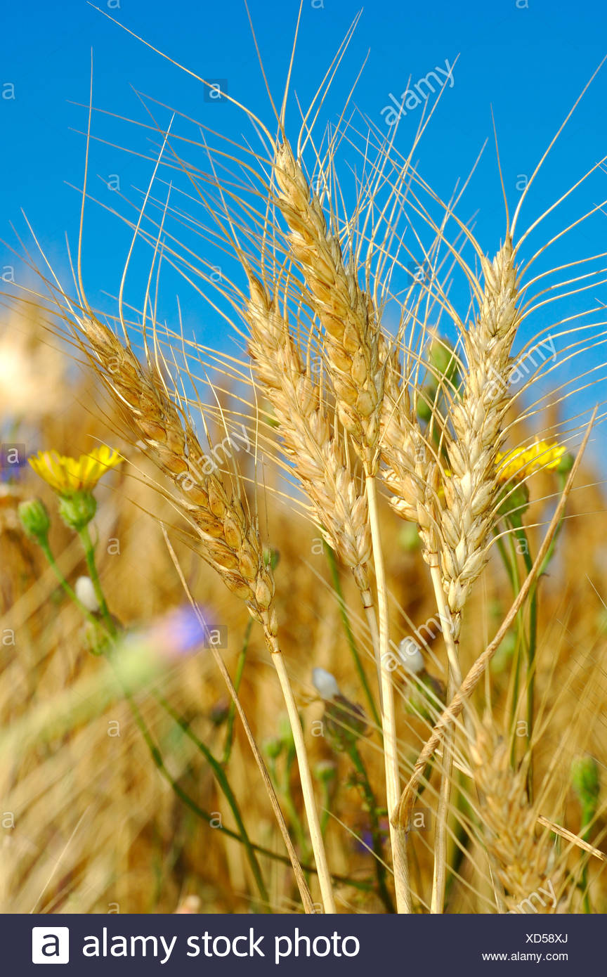 Common Rye ears, Secale cereale, Provence, France - Stock Image