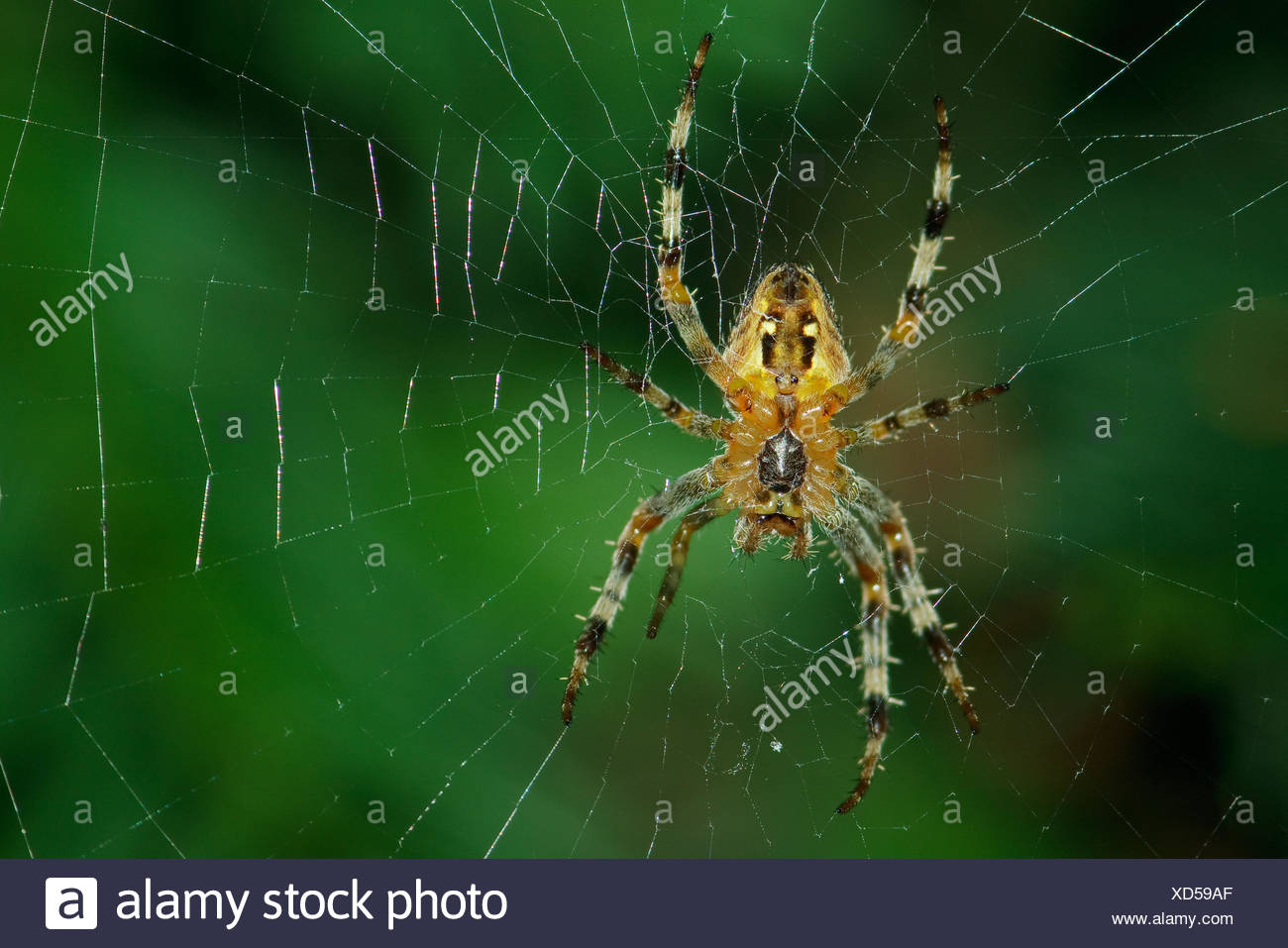 cross spider - Araneus diadematus - Stock Image