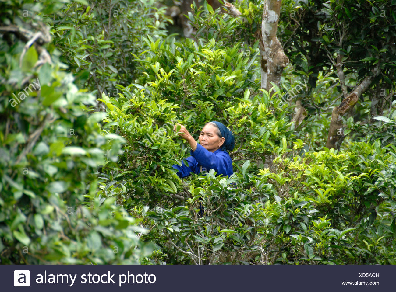 Tea, a woman of the Phunoy tribe picking tea leaves from the crown of old tea trees, Ban Komaen, Phongsali Province, Laos, Sout - Stock Image
