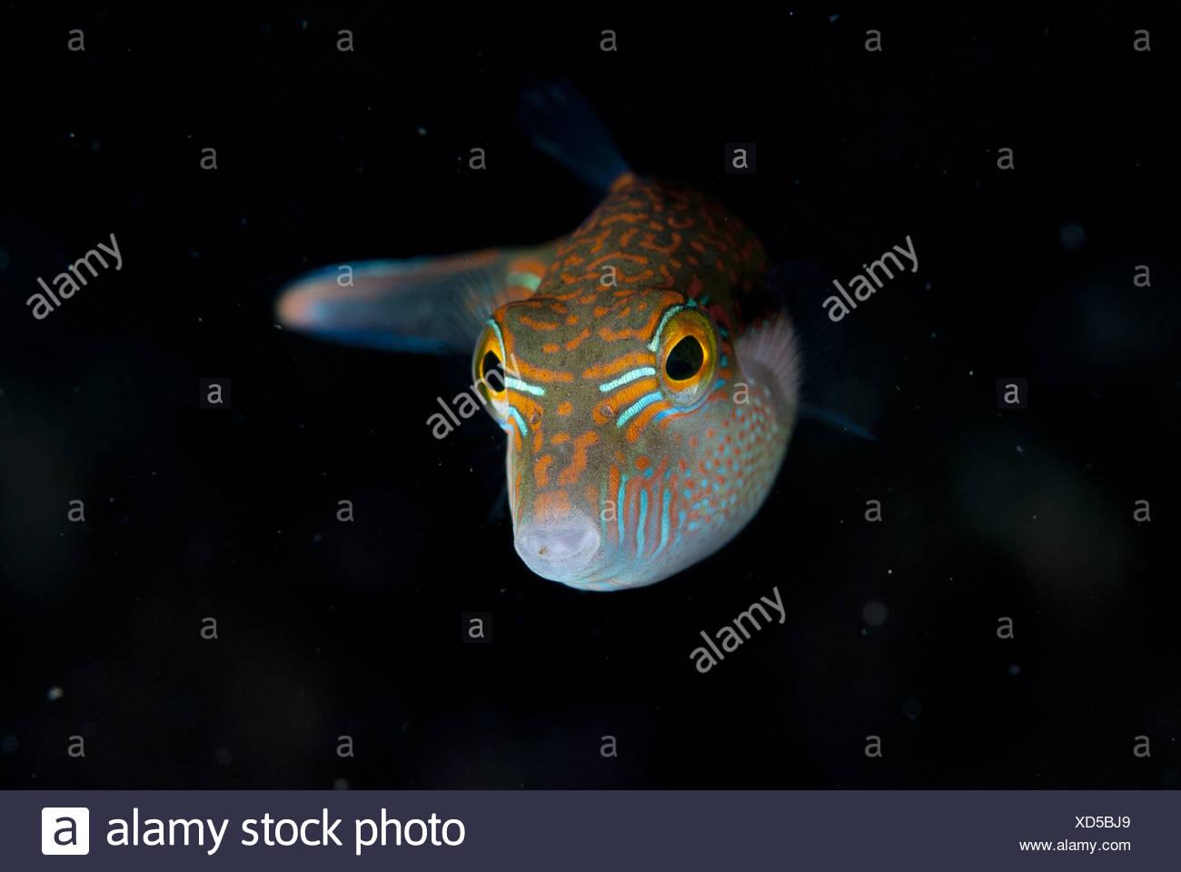 Whitebelly Toby (Canthigaster bennetti) adult, swimming, Lembeh Straits, Sulawesi, Sunda Islands, Indonesia Stock Photo