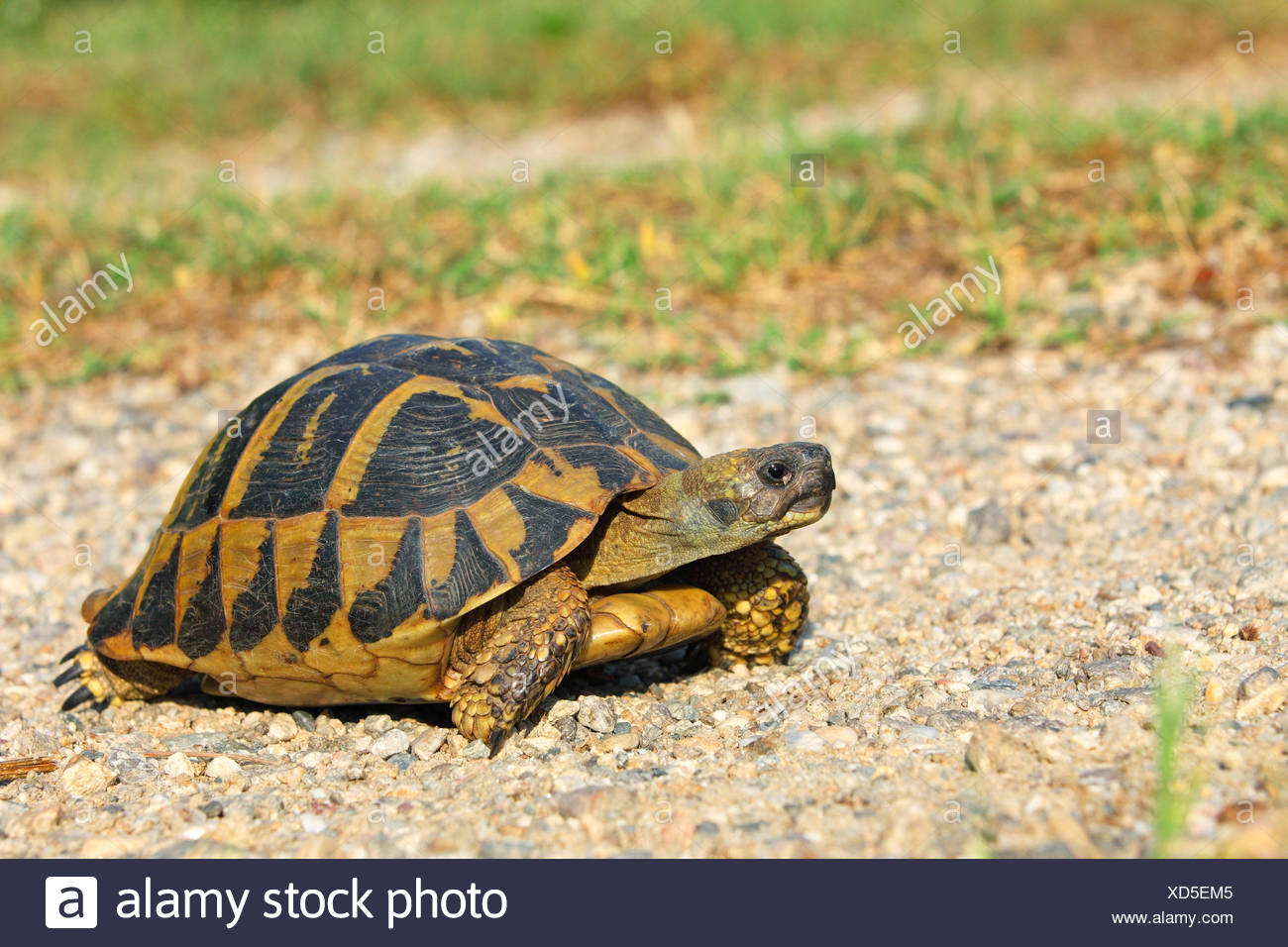 Hermann's tortoise, Greek tortoise (Testudo hermanni), walking tortoise, Greece, Lake Kerkini - Stock Image