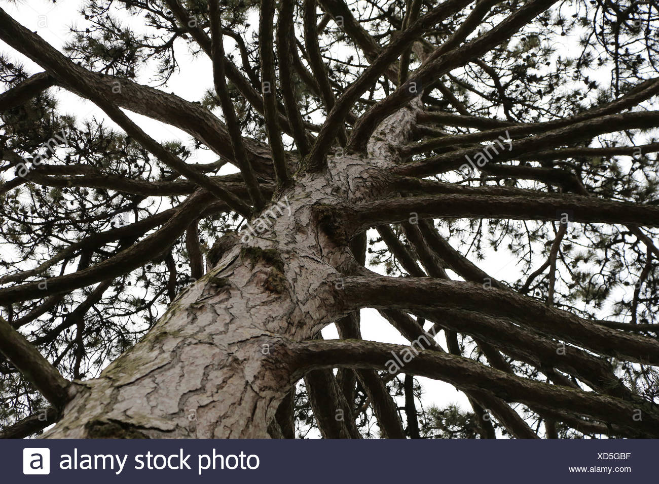 Pine tree with trank, branches and bark - Stock Image