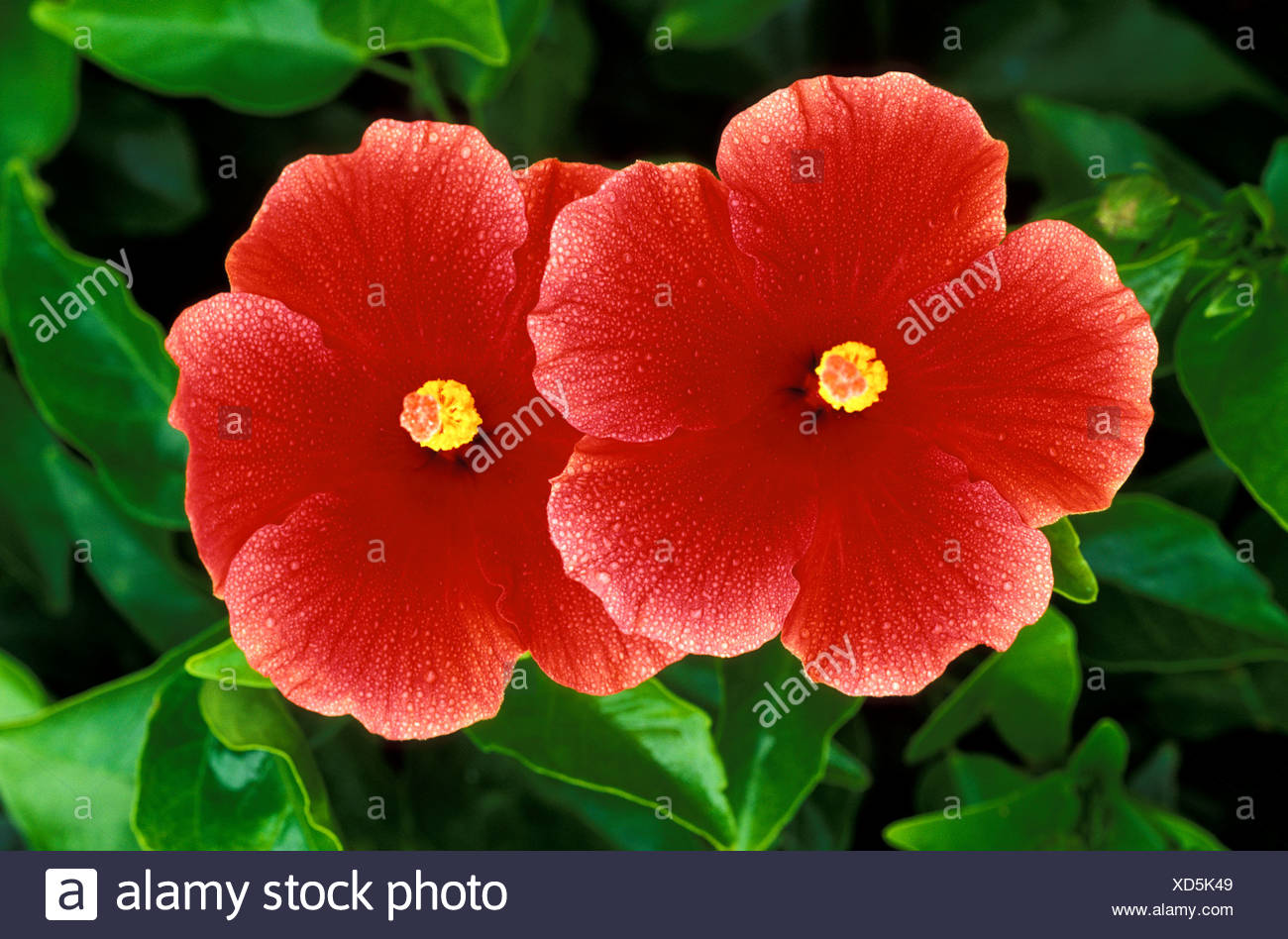 A Pair Of Beautiful Red Hibiscus Flowers Stock Photo 283481193 Alamy
