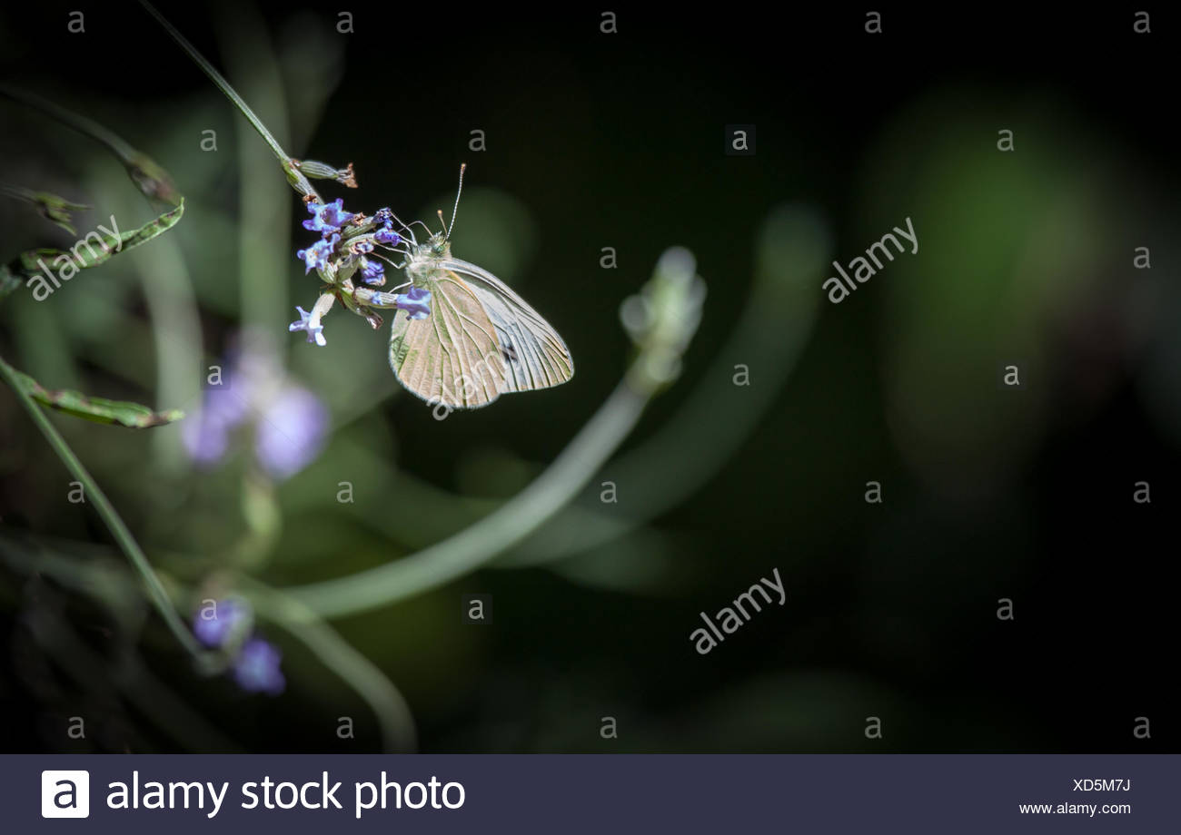 White butterfly on lavender blossom and dark green background - Stock Image