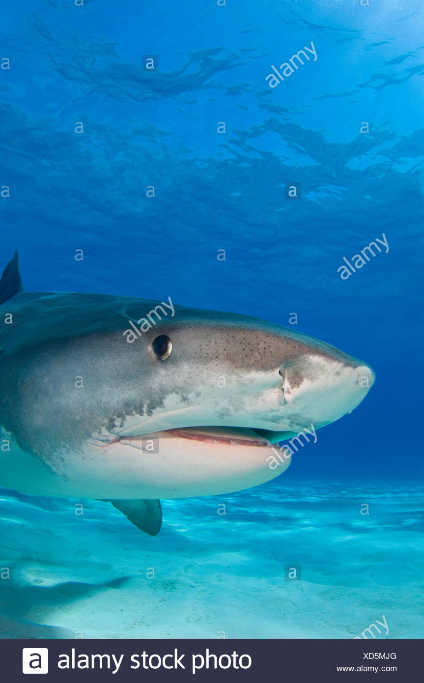 Tiger shark (Galeocerdo cuvier) portrait over white sand. Little Bahama Bank, Bahamas. - Stock Image