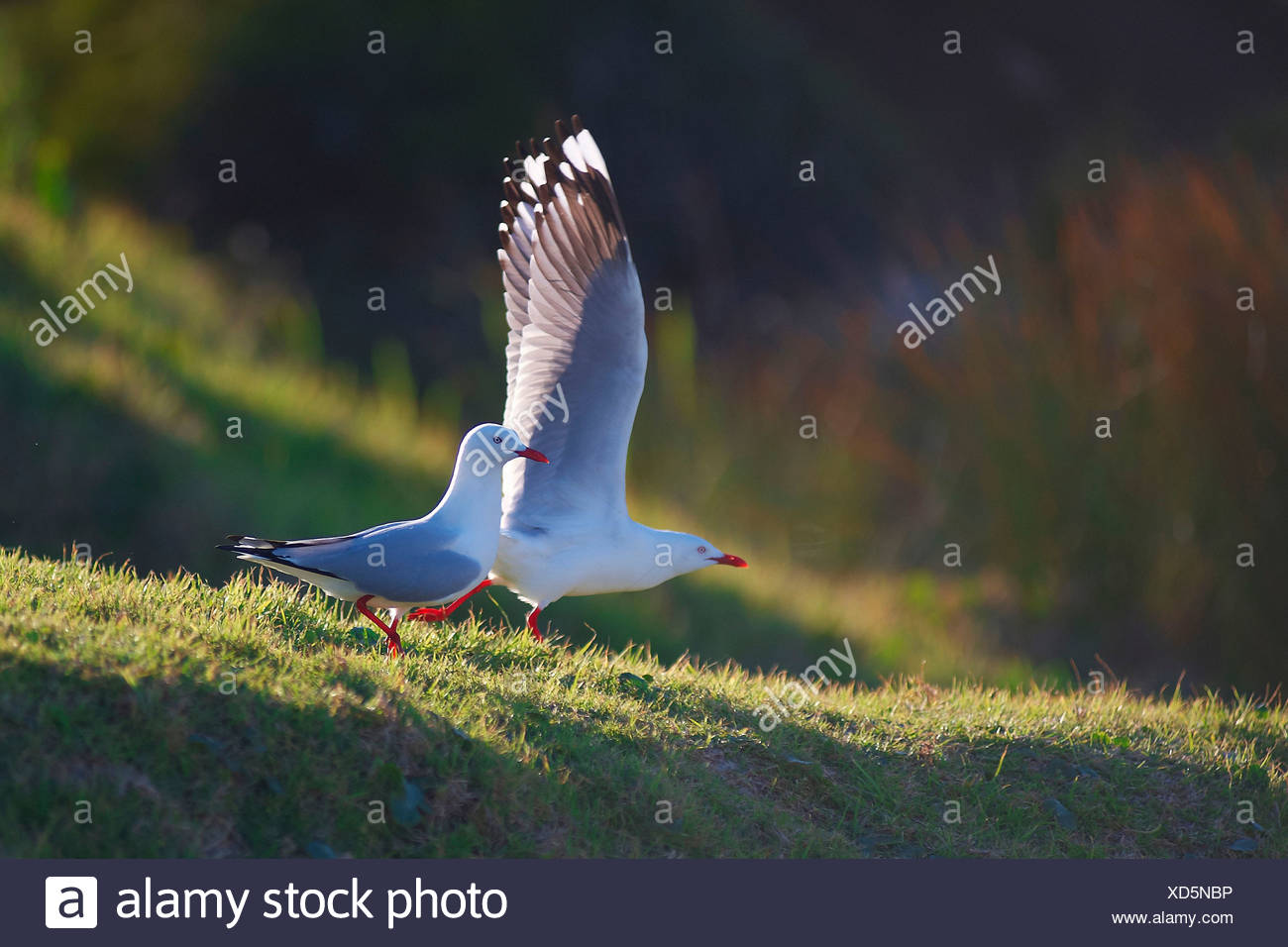 Australia, Narooma, New South Wales, animal, birds, sea gulls - Stock Image