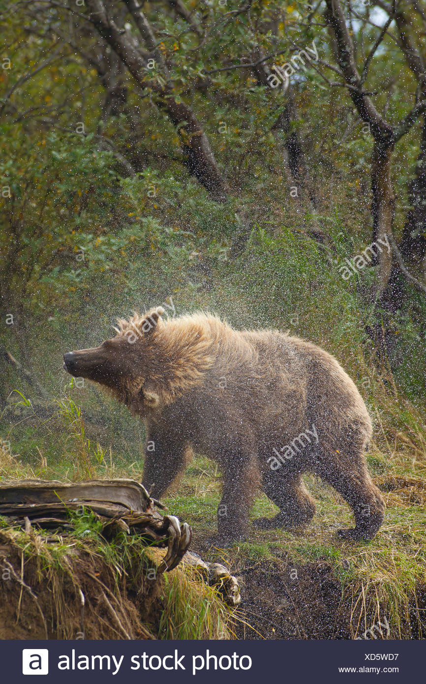 A Brown bear shakes water off after fishing in Grizzly Creek, Katmai National Park, Southwest, Alaska, Summer Stock Photo
