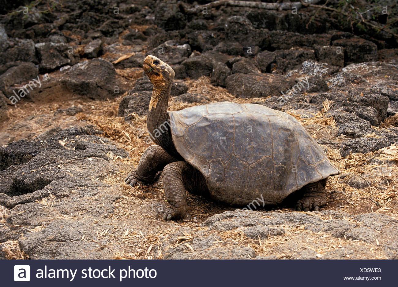 Giant Galapagos Tortoise, geochelone nigra, Adult, Galapagos Islands - Stock Image