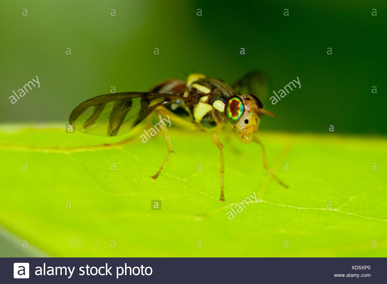 Wasp (Hymenoptera order), with intricate patterned wings on leaf, Klungkung, Bali, Indonesia. - Stock Image