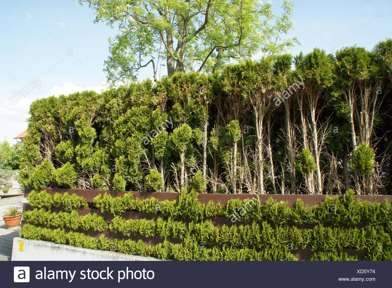 White Cedars, Hedge Stock Photo
