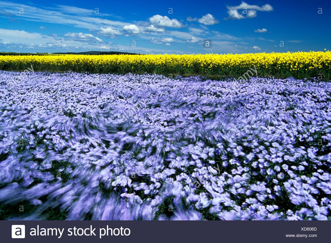 Windblown flowering flax field with canola in the background near Somerset, Manitoba, Canada - Stock Image